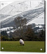 Sheep Grazing Atthe Galtees  Ireland's Tallest Inland Mountains Acrylic Print