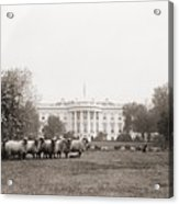 Sheep Grazing On The White House Lawn Acrylic Print by Everett
