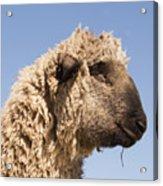 Sheep In Profile Acrylic Print