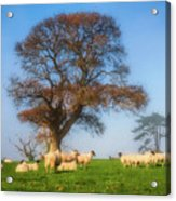 Sheep In Somerset - Impressions Acrylic Print