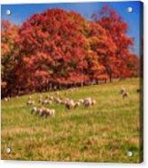 Sheep In The Autumn Meadow Acrylic Print