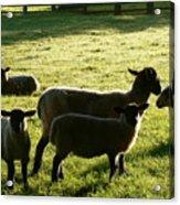 Sheep In The Sunlight Acrylic Print