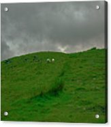 Sheep.  Acrylic Print
