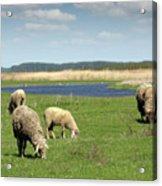 Sheep On Pasture Nature Farm Scene Acrylic Print