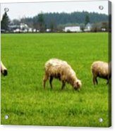 Sheep On The Range Acrylic Print