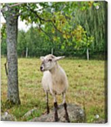 Happy Sheep Posing For Her Photo Acrylic Print