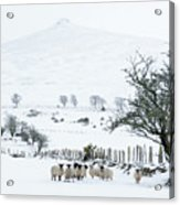 Sheep Shelter  Acrylic Print