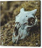 Sheep Skull Acrylic Print