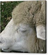 Sheep Sleep Acrylic Print