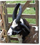 Sheep Three Acrylic Print