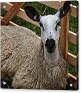 Sheep Two Acrylic Print