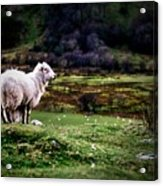 Sheep View Acrylic Print