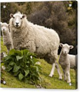 Sheep With Twin Lambs Stony Bay Acrylic Print by Colin Monteath