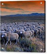 Sheepherder Life Acrylic Print