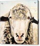 Sheepish Acrylic Print
