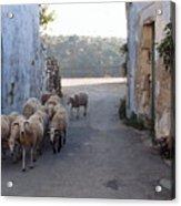 Sheeps Of Crete Acrylic Print