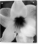 Sheer Amaryllis Acrylic Print