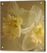Sheer Daffodils Acrylic Print by Beverly Cazzell