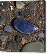 Shell Among Rocks Acrylic Print