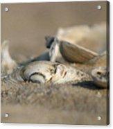 Shell Pile Acrylic Print