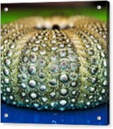 Shell With Pimples Acrylic Print