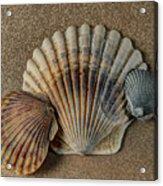 Shells 1 Acrylic Print