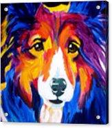 Sheltie - Missy Acrylic Print by Alicia VanNoy Call