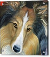 Sheltie - Collie Acrylic Print