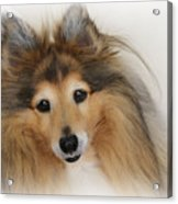 Sheltie Dog - A Sweet-natured Smart Pet Acrylic Print