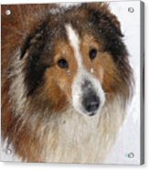 Sheltie In The Snow Acrylic Print