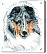 Shetland Sheepdog, Sheltie, Blue Merle Acrylic Print