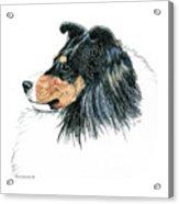 Shetland Sheepdog, Sheltie Tri Color Acrylic Print
