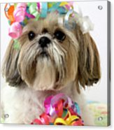Shih Tzu Dog Acrylic Print by Geri Lavrov