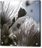 Shimmering Flower II Acrylic Print by Ray Laskowitz - Printscapes