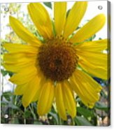 Shine Sunflower Shine Acrylic Print