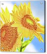 Shining Sunflowers Acrylic Print