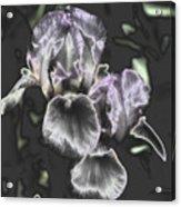 Shiny Irises Acrylic Print