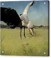 Shoebill Landing Acrylic Print
