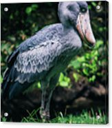 Shoebill Stork Side Portrait Acrylic Print