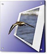 Shore Bird In Flight Acrylic Print