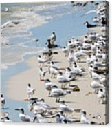 Shorebird Gathering Acrylic Print