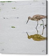 Short-billed Dowitcher #4 Acrylic Print