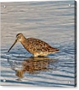 Short-billed Dowitcher Acrylic Print