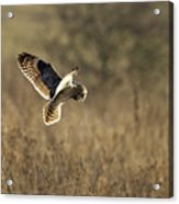 Short-eared Owl About To Strike Acrylic Print