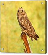 Short Eared Owl Acrylic Print