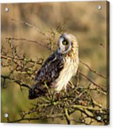 Short-eared Owl In Tree Acrylic Print