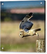 Short-eared Owl Takeoff Acrylic Print