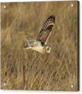 Short-eared Owl With Vole Acrylic Print