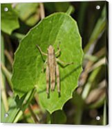 Shortwinged Green Grasshopper Acrylic Print