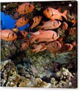 Shoulderbar Soldierfish Acrylic Print by Dave Fleetham - Printscapes